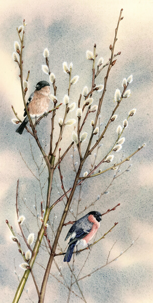 pussy willow tree and bullfinch bird print by artist Jenny Bell
