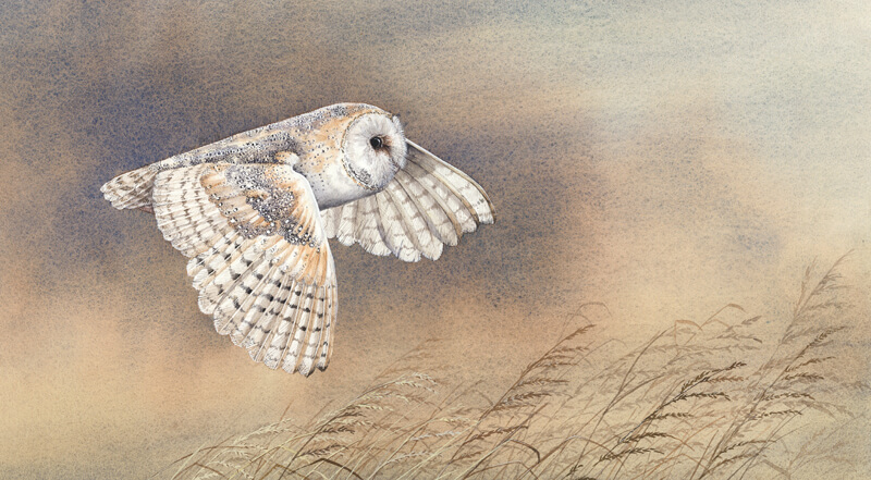 silent_flight_barn_owl_picture_jenny_bell_jab128_800